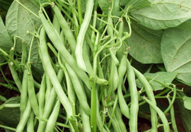 French Beans- Phaseolus vulgaris